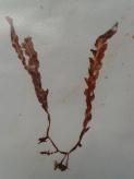 Asparagopsis armata (Alga roja)